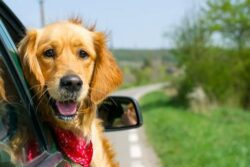 Be patient and calm if your dog gets car sick every time you on a trip. Try CBD products for best anti anxiety and anti nausea effects.