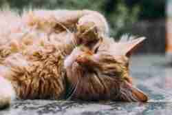 CBD for Feline asthma can be a good option or extra addition to treatment course of your pet. Read why CBD can calm asthma and inflammation