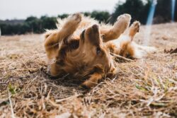 CBD products provide natural remedies for arthritis in dogs, while being safe and providing many other health benefits too!