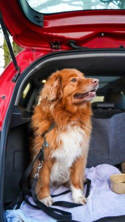 Car safety tips for dogs important knowledge to have - keeping all of those within a vehicle safe from potential harm.