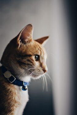 Helping cat with diabetes can be challenging. Early diagnosis and treatment can improve his quality of life and keep him healthy.